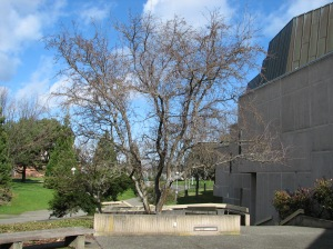 Victoria's Holy Thorn Tree